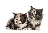 Two European Shorthair kittens, 1 month old, isolated on white