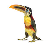 Curl-crested aracari, isolated on white