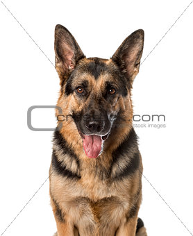 A German shepherd panting, isolated on white
