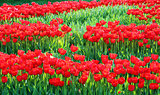 Red flowering tulips