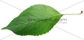 Green apple leaf on white