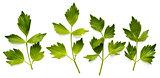 Leaves of lovage