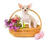 puppy white chihuahua