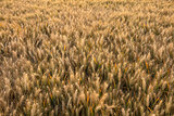 Barley Farm Field in Golden Light