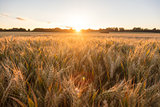 Barley Farm Field at Golden Sunset or Sunrise