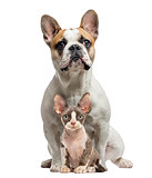 French Bulldog and Peterbold sittng and looking at camera, isola