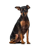 Miniature Pinscher (1 year old)