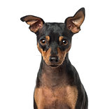 Close-up of a Miniature Pinscher, 1 year old, isolated on white