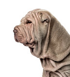 Close-up and side view of a Shar Pei puppy, 10 weeks old, isolat