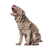 Puppy Shar Pei sitting and yawning, 10 weeks old, isolated on wh