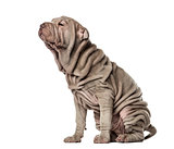 Puppy Shar Pei sitting, 10 weeks old, isolated on white