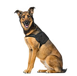 Belgian Shepherd Malinois with a security jacket sitting, 3 year