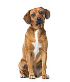 Rhodesian ridgeback sitting, isolated on white
