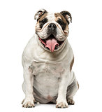 English Bulldog sitting and panting, 4 years old, isolated on wh