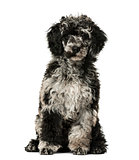 Puppy Poodle sitting,13 weeks old, isolated on white