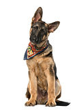 Puppy German Shepherd Dog with a multicolored scarf sitting, 4 m