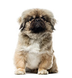 Pekingese sitting, isolated on white