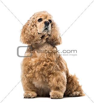 American Cocker Spaniel looking away, isolated on white, 4 years