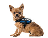 Mixed breed dog with a police security jacket sitting , isolated