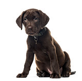 Puppy chocolate Labrador Retriever sitting, 3 months old , isola
