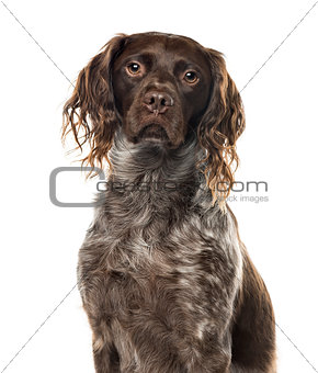 A brittany sitting, isolated on white, 4 years old
