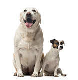 A Jack Russell Terrier and a Labrador Retriever sitting, isolate