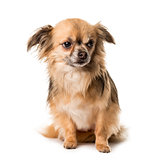 Brown chihuahua sitting , isolated on white