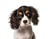Close-up of a Cavalier King Charles, isolated on white