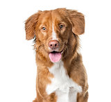 Close-up of a Nova Scotia Duck Tolling Retriever panting , isola