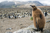 Fluffy King penguin chick