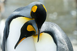 Close-up of king penguin looking at camera