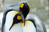 Close-up of king penguin looking at camera
