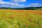 Wild poppy flowers on blue sky background.
