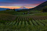 Hood River Pear Orchards at Sunset