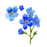 Wildflower myosotis arvensis flower in a watercolor style isolated.