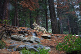 Coyote during snowfall at Yosemite National Park