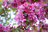 Pink blossom on branch of malus crab apple