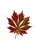 "Leaf of Japanese maple. Acer japonicum ""Aconitifolium""."