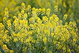 Wild Mustard in a Field