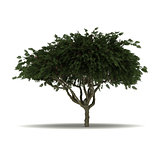 Single Staghorn Sumac Tree