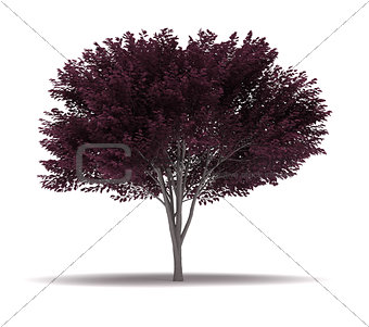 Single Cherry Blossom Plum Tree