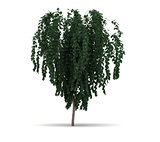 Single Weeping Katsura Tree