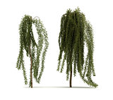 Two Walker Siberian Peashrub Tree