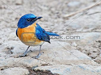 Tickells Blue Flycathcher