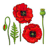 Hand drawn set of red poppy flower, bud, pod, leaf