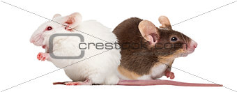 Albino white mouse and Common house mouse isolated on white