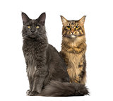 Two cats sitting and looking away, isolated on white