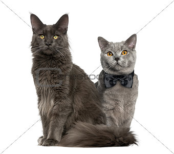 A cat and another with bow tie sitting, isolated on white
