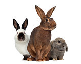 Belgian Hare and Russian rabbit and Holland Lop rabbit isolated