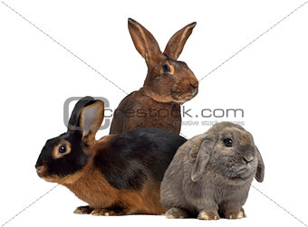 Black fire Rabbit,Belgian Hare and Holland Lop rabbit isolated o